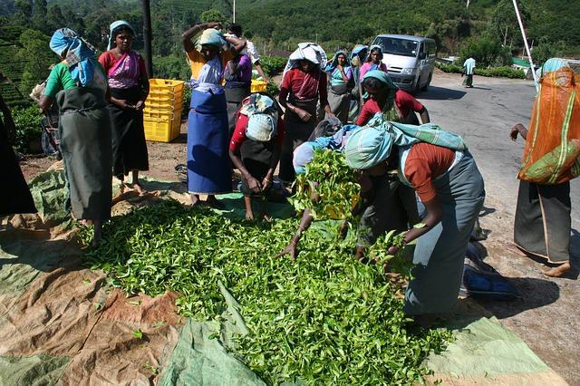 Backpacking in Sri Lanka - Tee Anbau und Handel