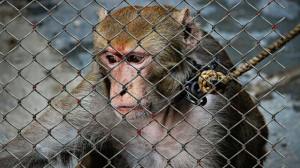 Affe als Haustier missbraucht