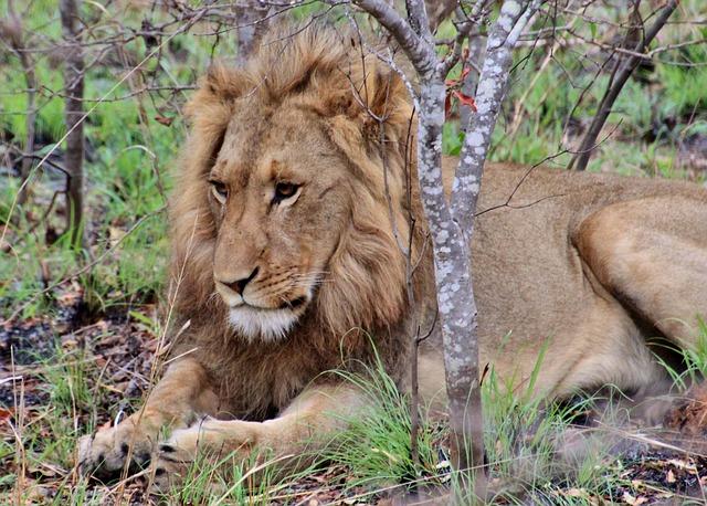 Selbstfahrer Safari in Südafrika - Ein Löwe im Kruger National Park