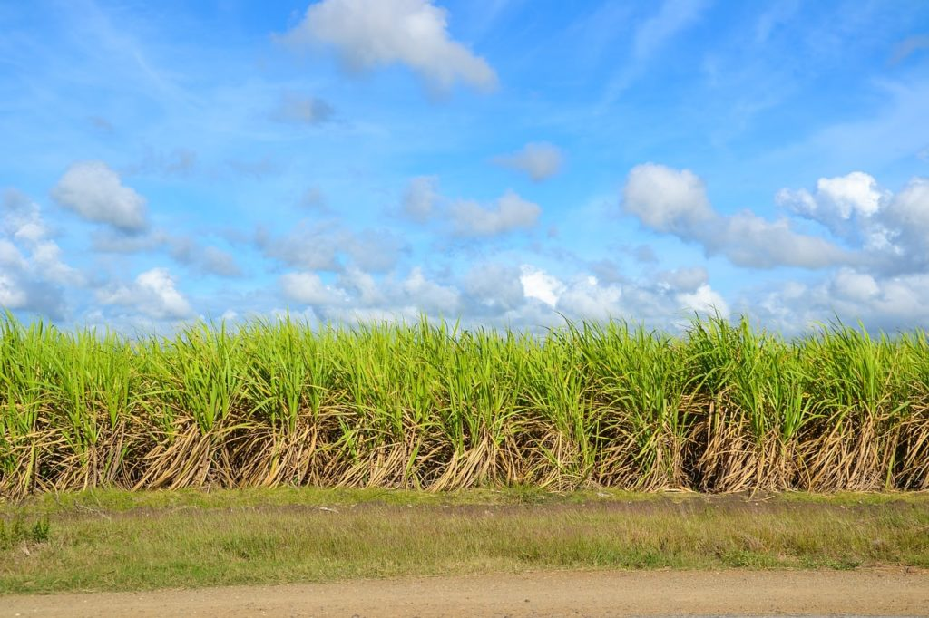 Backpacking auf Kuba - Zuckerrohrfeld