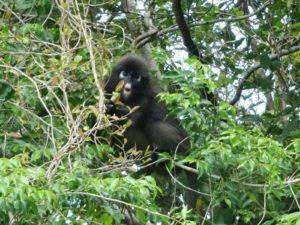 Affen im Dschungel von Langkawi