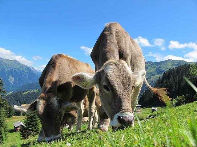 austria cows